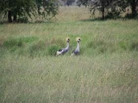 10crown cranes.JPG