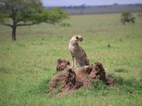 17 cheetah.JPG