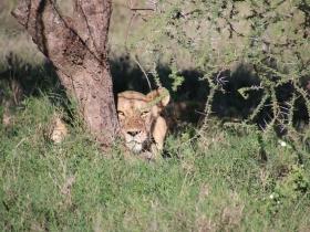 22 lionness.JPG