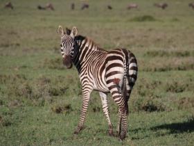 24 zebra.JPG