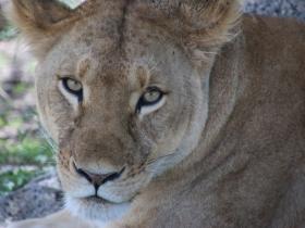 6 lioness.JPG