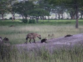 9 baby hyena.JPG