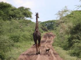 GiraffeIn Road.JPG