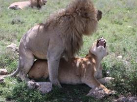 LionsMating2.JPG