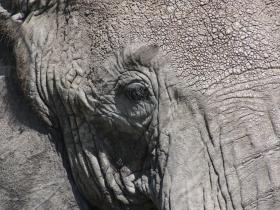 elephanteye