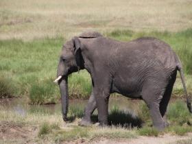 elephantsolo