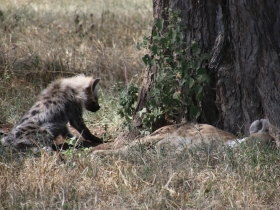 hyenababy