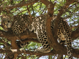 leopardwhole
