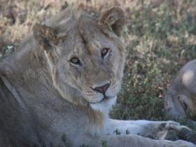 lionface1